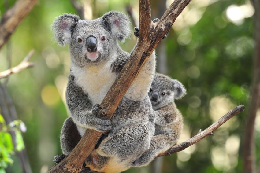 aller observer les koalas pendant un PVT en Australie