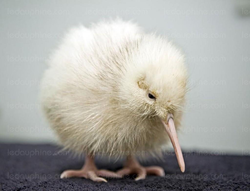 manukura-un-kiwi-blanc-photo-afp