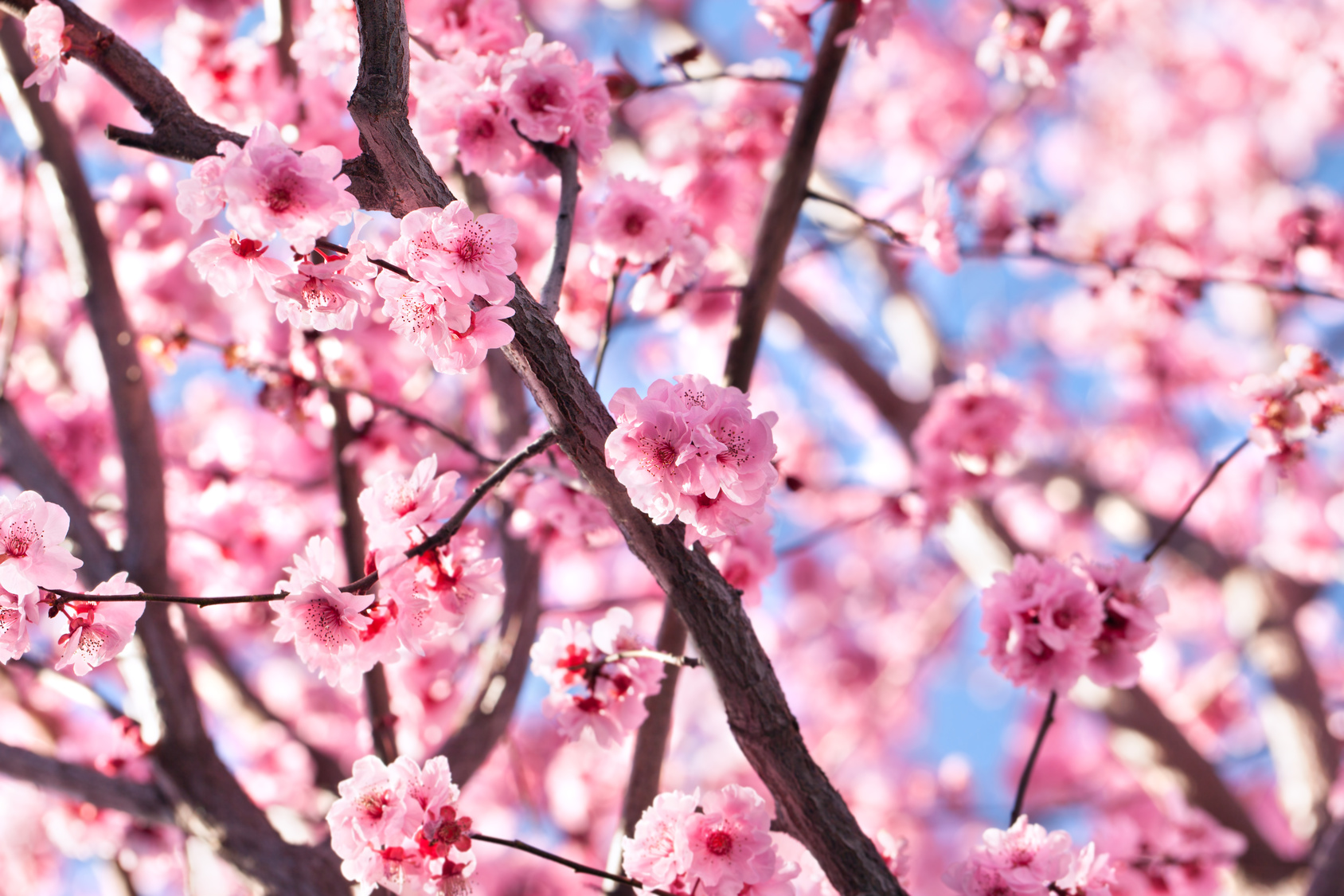japon cerisiers