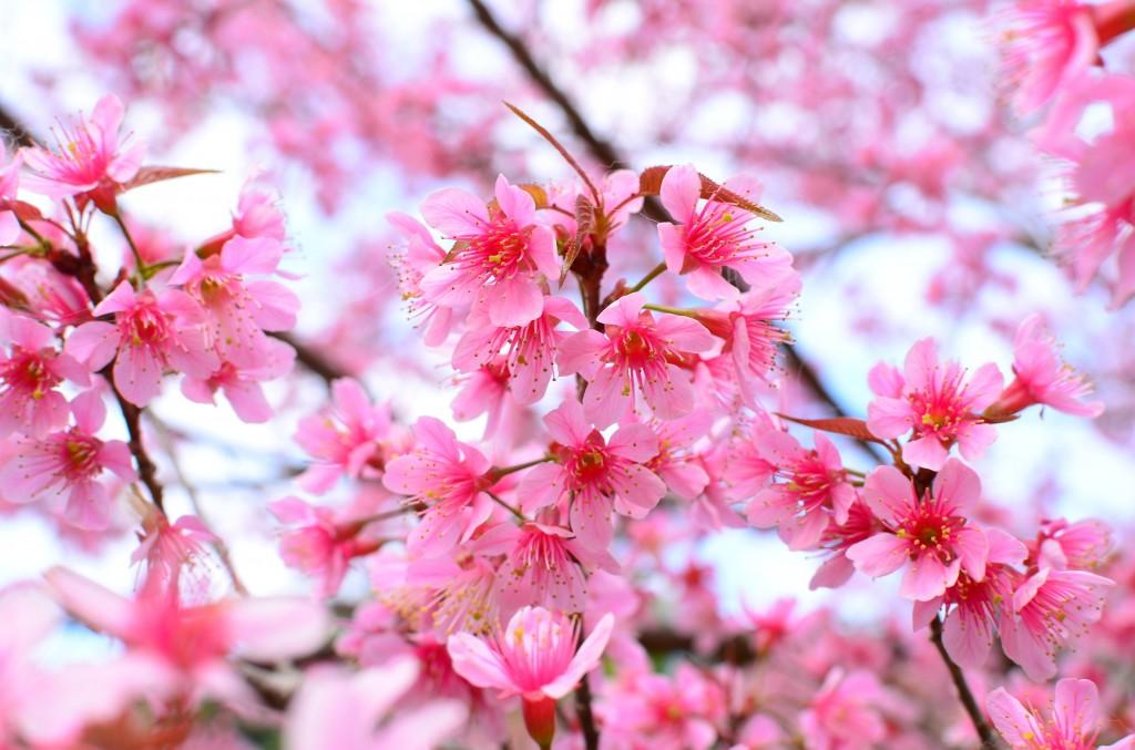 partager votre vision du japon en fleur