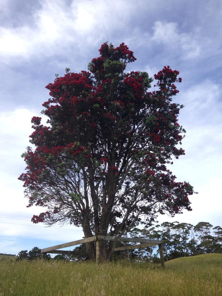 Le fameux Pohutukawa : l'arbre de Noël de NZ