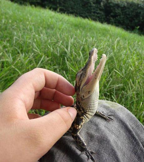 Crocodile-australie-whv ©DR