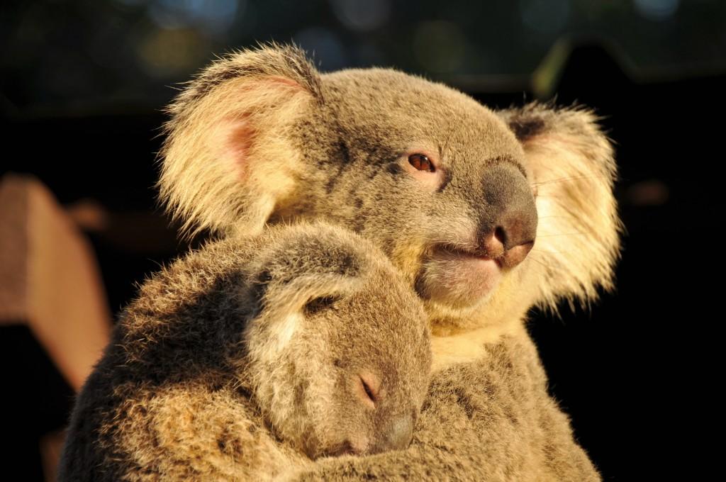 koala-australie-whv