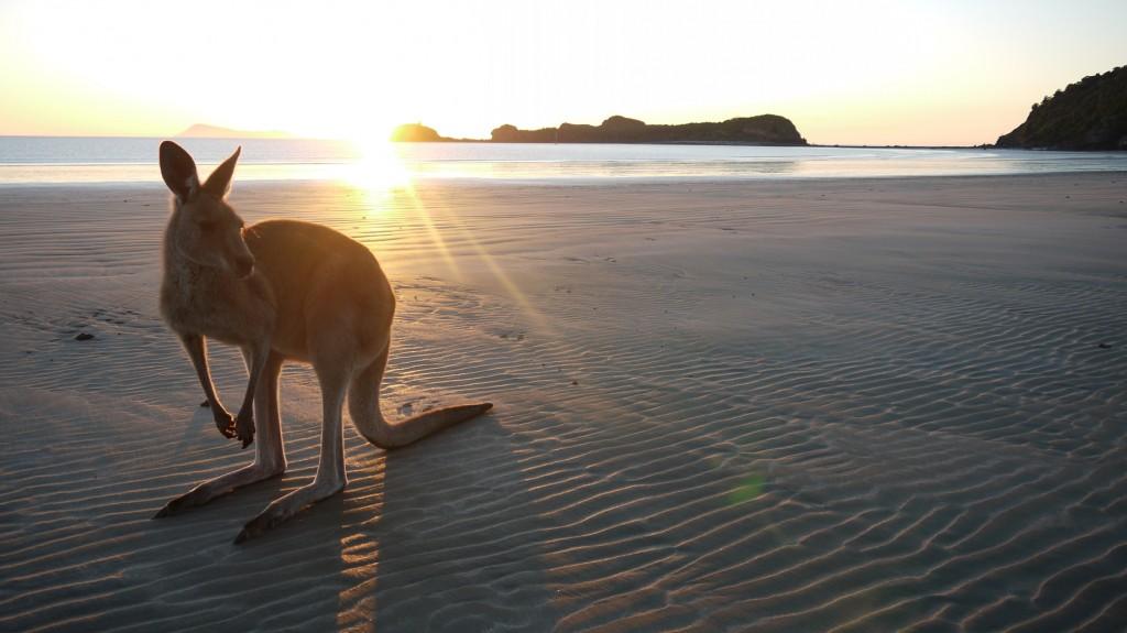 kangourou-australie-whv