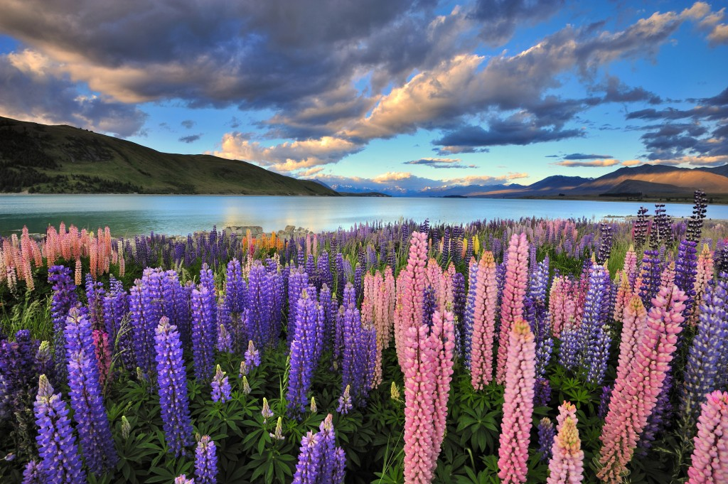 Lupines on the shore of Lake Tekapo, New Zealand