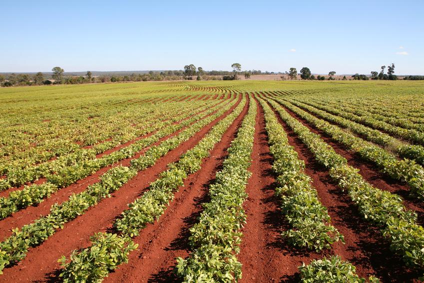 Peanut crop, ready for harvesting, Queensland, Australia