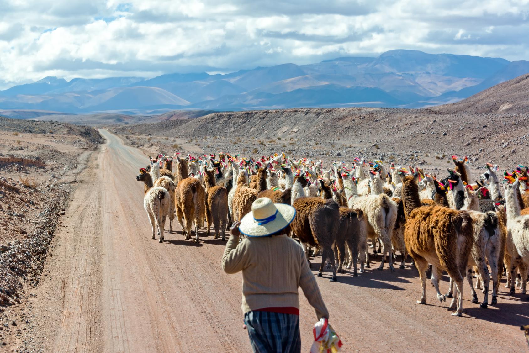 Woman herding llamas on a road near San Pedro de Atacama
