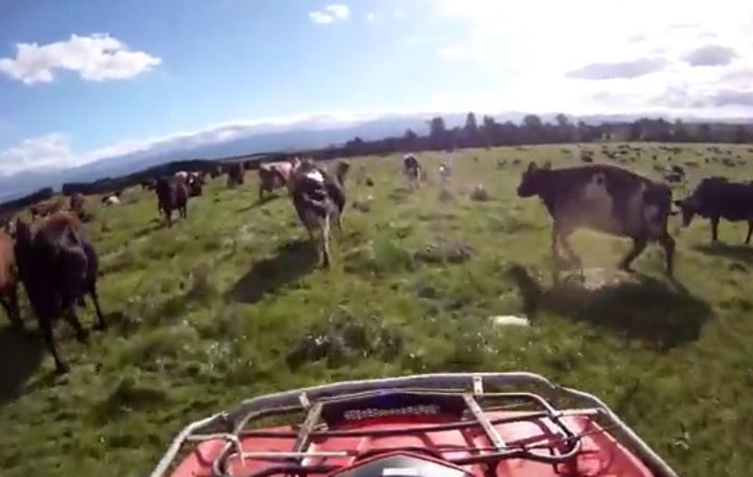 Photo d'un quad dans un champs avec des vaches en WHV Nouvelle-Zelande