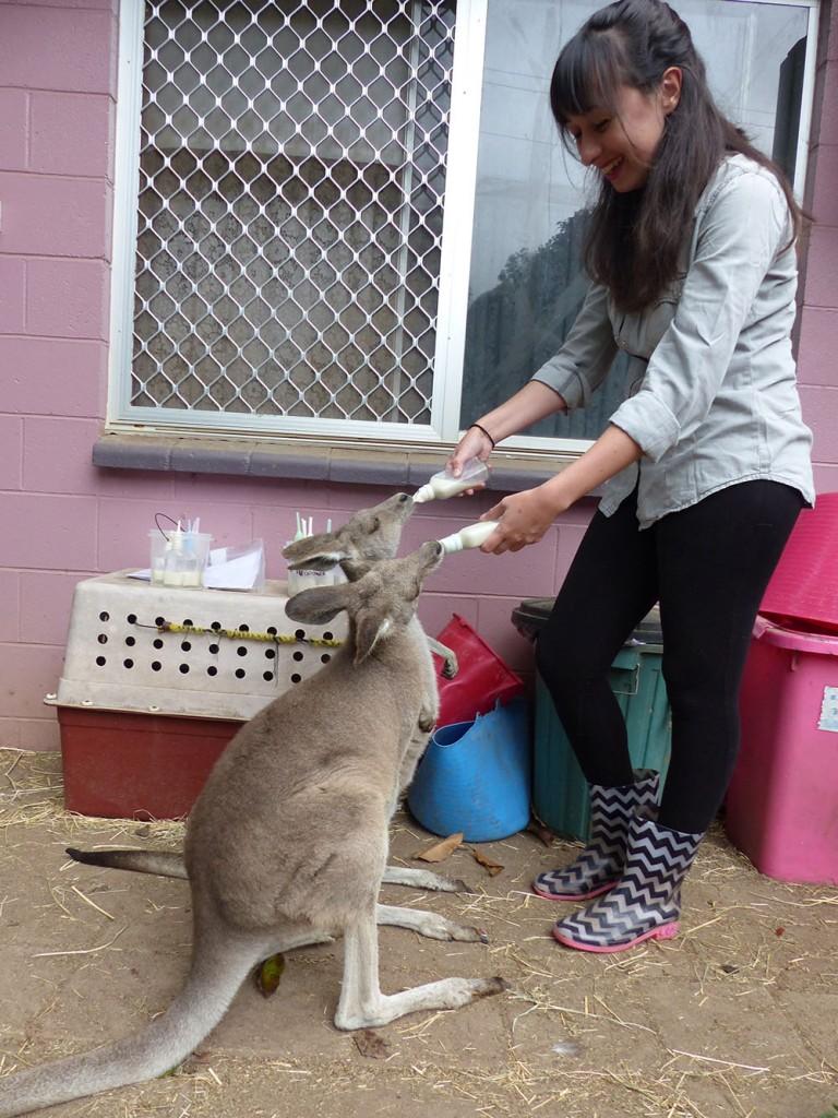 Photo de bebes kangourous qui boivent au biberon en australie