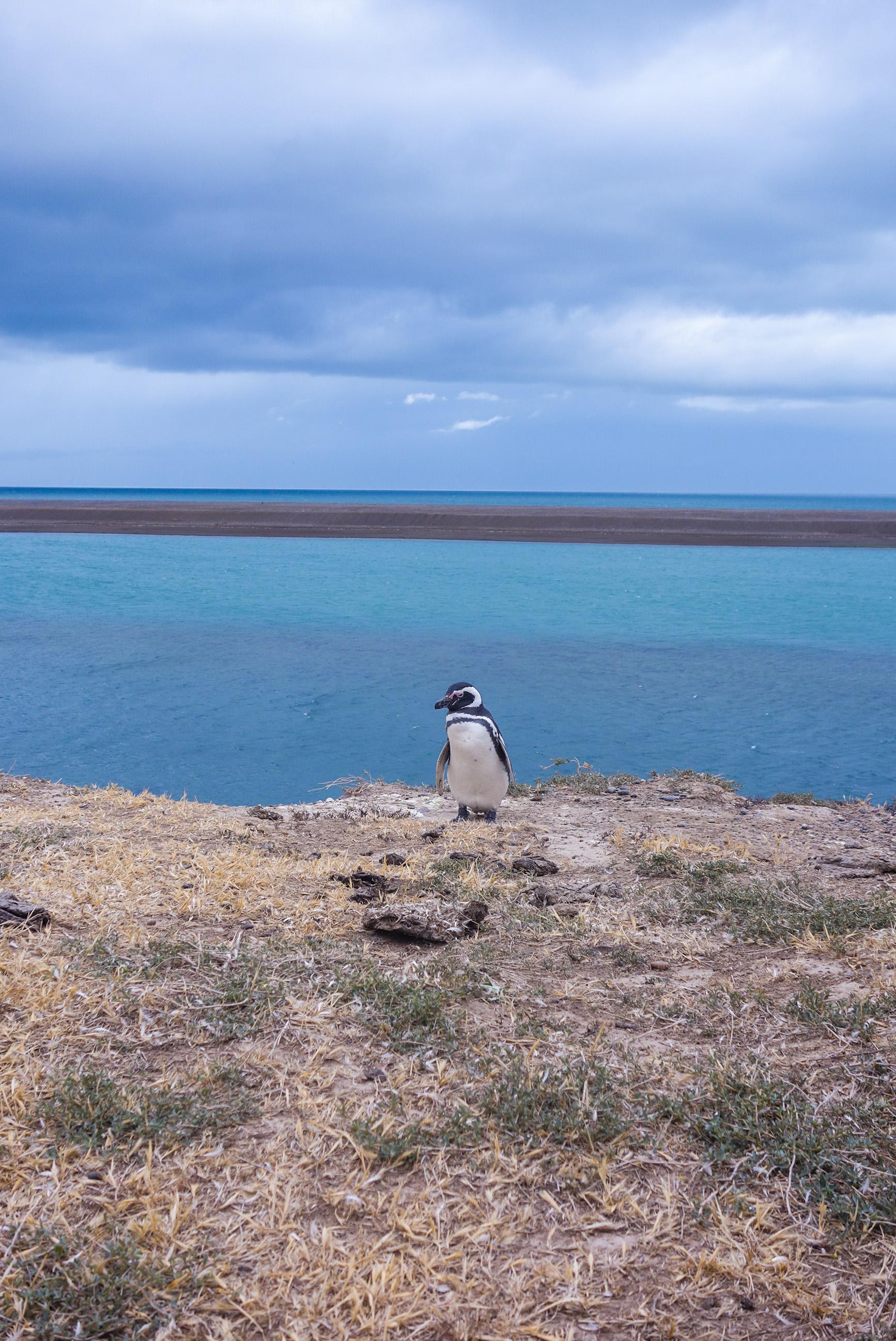 Pingouin Valdes Argentine