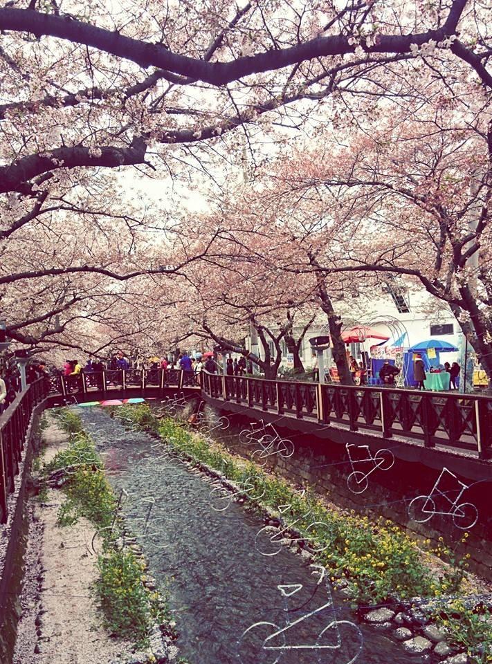 cerisiers corée