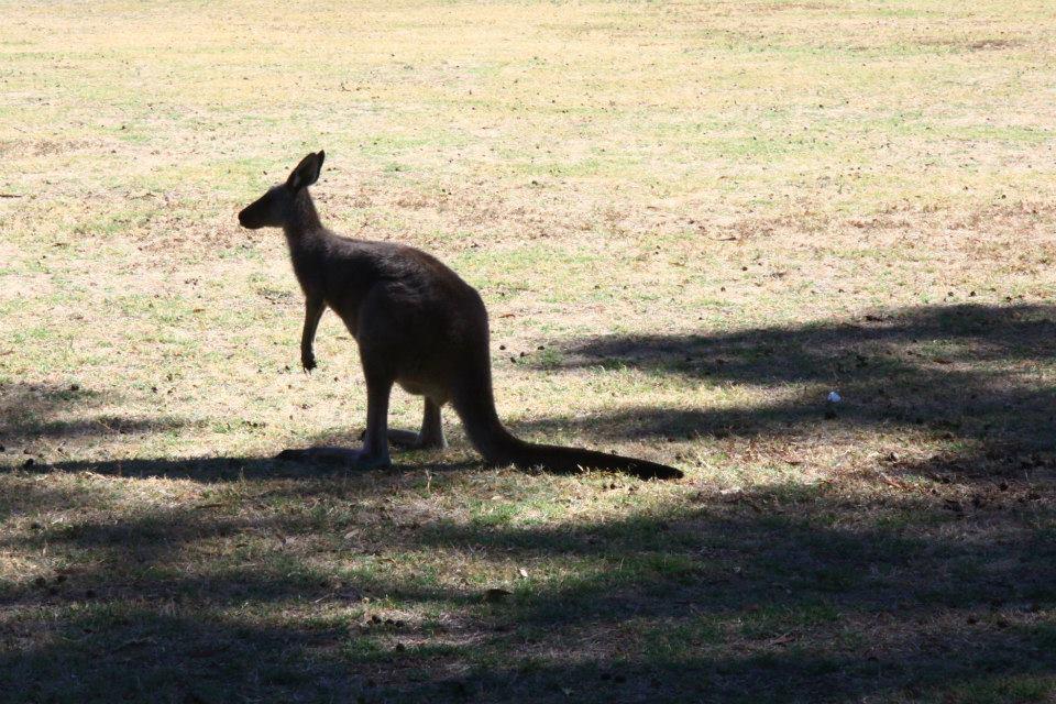 kangourou dans le grampians national park