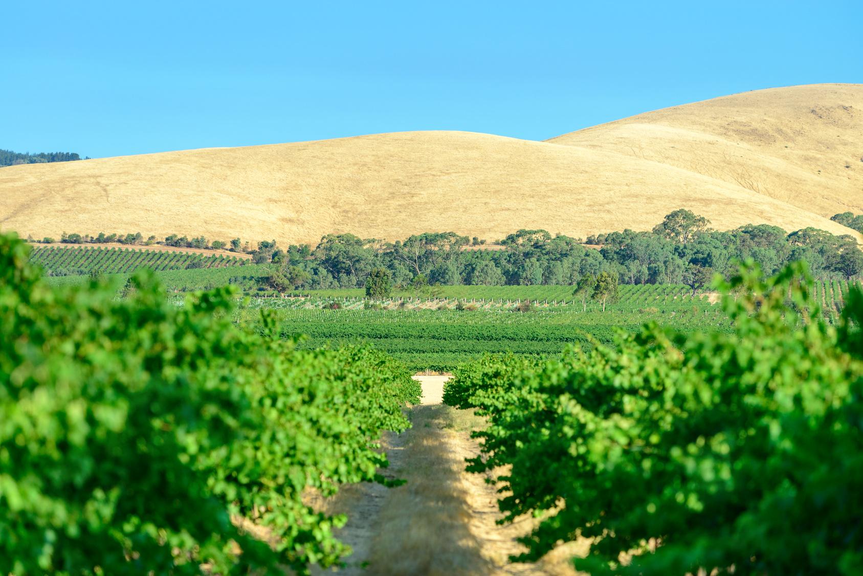 vigne australie