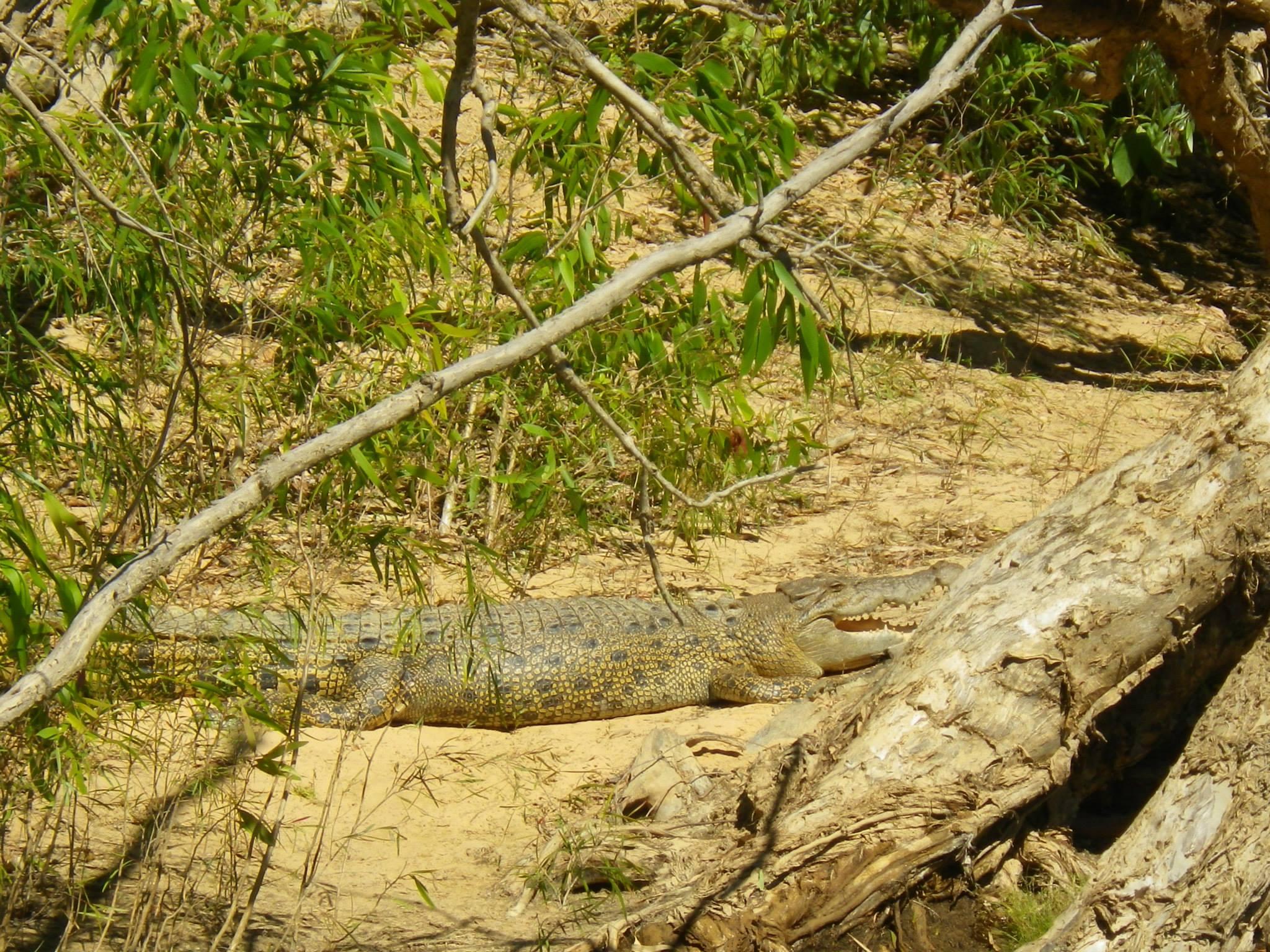 crocodile mary river australie