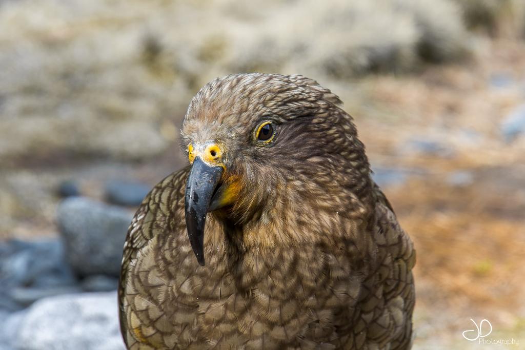 photo d'un kea