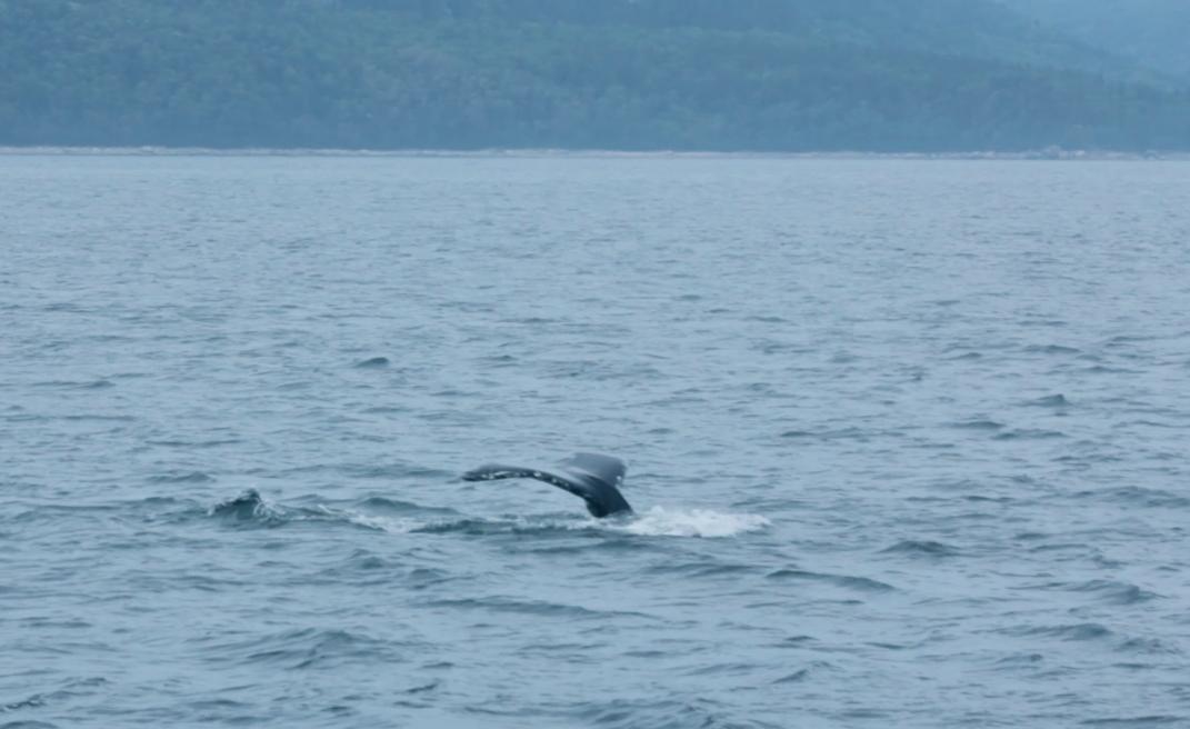 queue de baleine canada