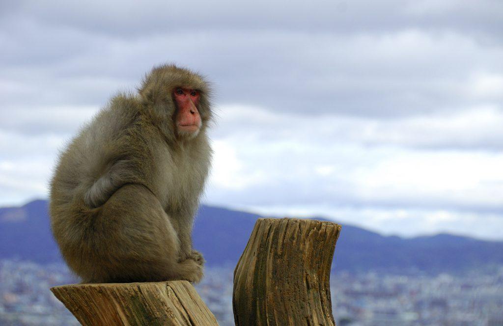 singe sur la montagne iwata