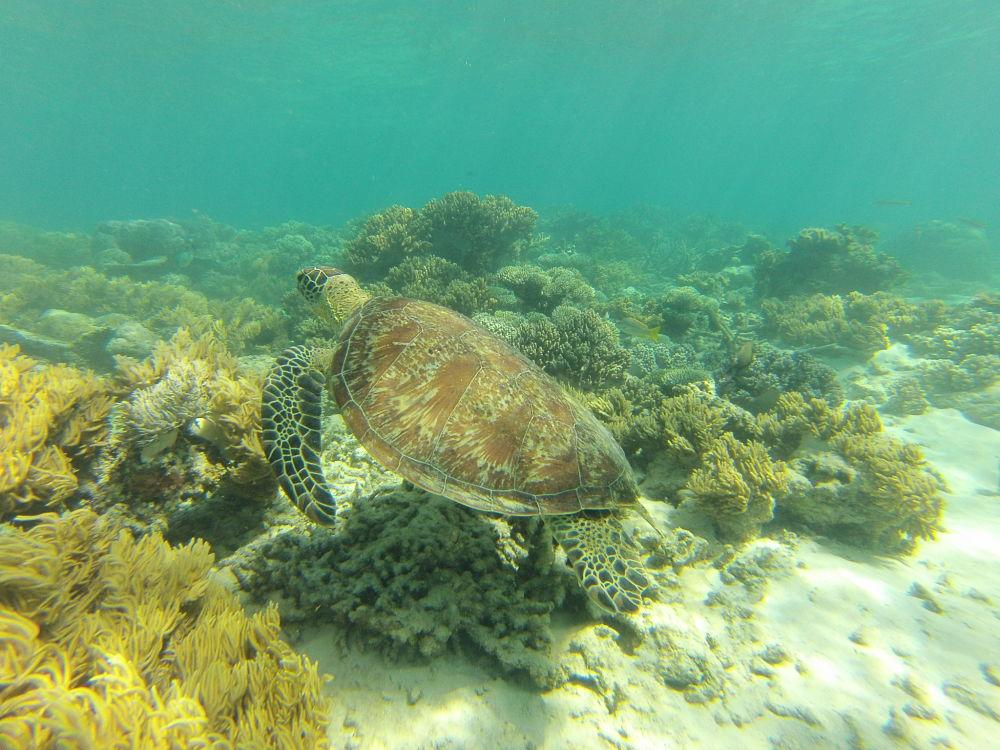 Snorkeling avec les tortues à Cape Tribulation