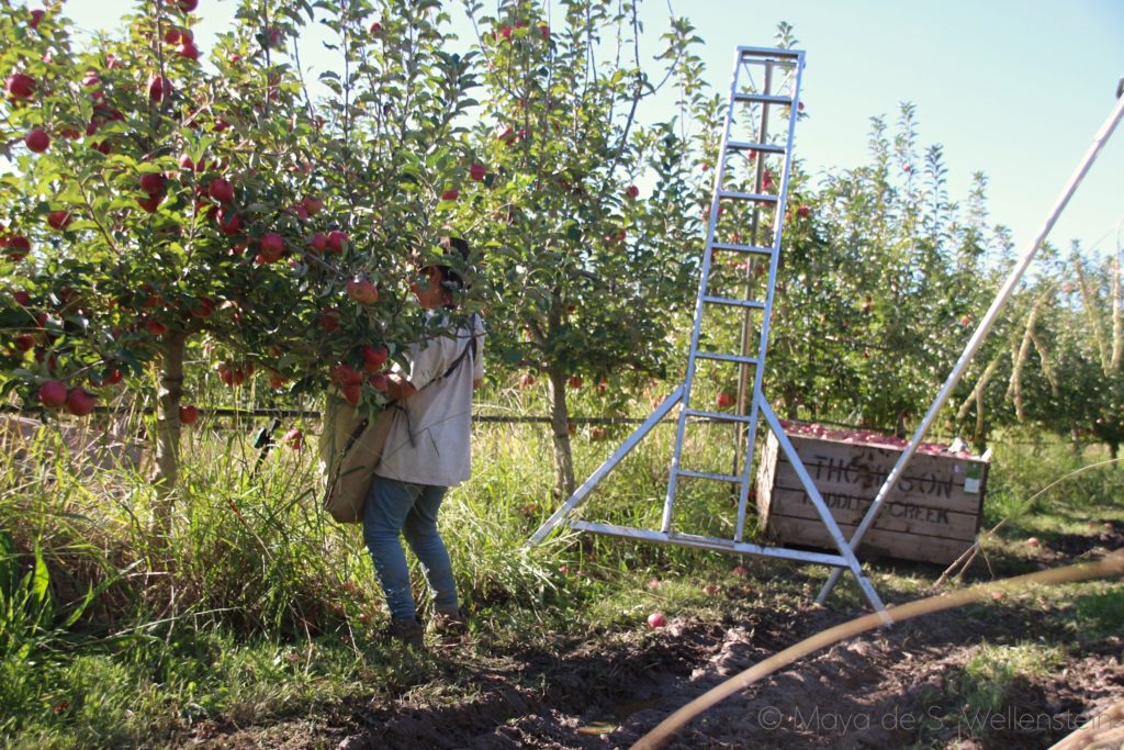 apple picking en Australie