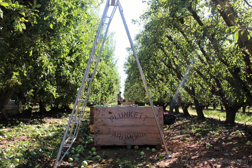 ramasser des pommes en Australie