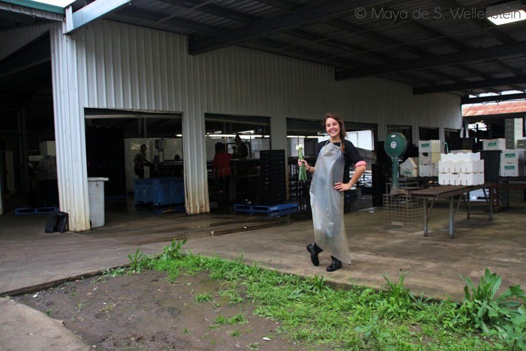 recolter des oignons en Australie