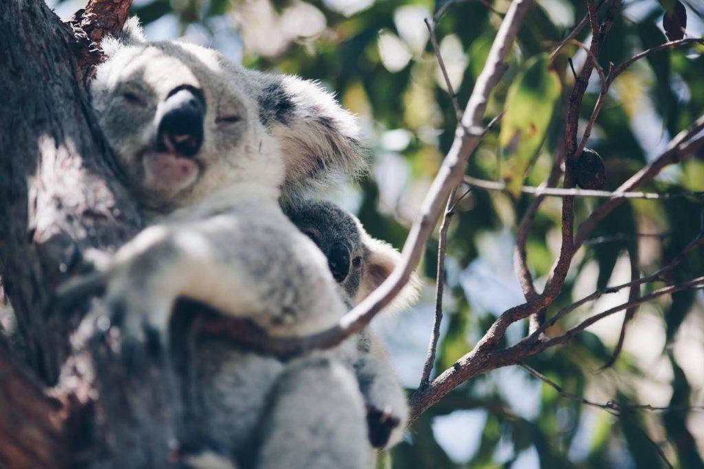 les koalas sur magnetic island